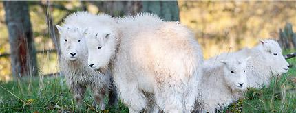 Mountain Goats photo